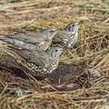 Turdus viscivorus - Mistle Thrush - Misteldrossel and Turdus pilaris - Fieldfare - Wacholderdrossel, Cyprus, Troodos Mountain, November 2016