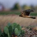 Circus Cyancus - Northern Hen Harrier (female) - Kornweihe, Cyprus, Mandria, Dezember 2012