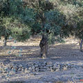 Olivenbaum mit Bruthöhle - Olive Tree with Breeding cavern - Cyprus, Polis Area, Juni 2018