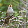 Cettia cetti - Cetti's Warbler - Seidensänger, Cyprus, Anarita Park, March 2015