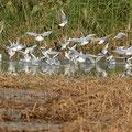 Lachmöwe, Black-headed Gull, Chroicocephalus ridibundus, Cyprus, Limassol, Zakaki Marsh - Pool, 18. October 2018