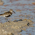 Alpenstrandläufer, Dunlin, Calidris alpina, Cyprus, Akrotiri - Zakaki Marsh, September 2018