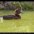 Moorente, Ferruginous Duck, Aythya ayroca, Cyprus, Akrotiri Bishops Pool, April 2013