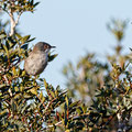 Sylvia curuca - Lesser Whitethroat - Klappergrasmücke, Pegeia - Agios Georgios, October 2016