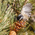 Periparus cypriotes - Coal Tit cypriotes - Tannenmeise, Cyprus, Troodos Mountain, November 2016