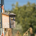 Parus Major - Great Tit - Kohlmeise, Cyprus, our Garden, March 2016