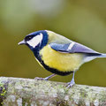 Parus Major, Kohlmeise, Great Tit, Germany, 2010