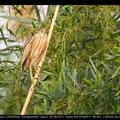 Ixobrychus minutus - Little Bittern - Zwergdommel, Cyprus, Asprokremmos Pools, Mai 2011