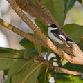 Halsbandschnäpper, Collared Flycatcher, Ficedula albicollis, Cyprus, Pegeia-Agios Georgios, April 2017