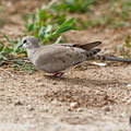 Oena capensis - Namaqua Dove (female) - Kaptäubchen, Cyprus, Mandria Greenhouse Area, March 2016