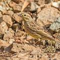 Emberiza citrinella - Yellowhammer - Goldammer, Cyprus, Troodos, Dec. 2014