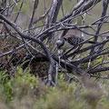 Häherkuckuck, Great Spotted Cuckoo, Clamator glandarius, Cyprus, Akrotiri Marsh - Gravel Pit, 11.April 2018