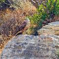 Buteo rufinus - Long-legged Buzzard - Adlerbussard, Cyprus, Asprokremmos Dam, 07. 2011