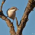 Iduna pallida - Eastern Olivaceous Warbler - Blassspötter, Cyprus, Kathikas, Mai 2012