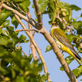Pirol, Eurasian Golden Oriole (female),  Oriolus oriolus, Cyprus, Paphos-Anarita Area, Morus alba Tree, 05. Mai 2017