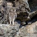 junge Steinkauze, juvenile Little Owl, Athene noctua, Cyprus, Paphos - Anarita Park Area, Juni 2018