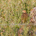Francolinus francolinus - Black Francolin - Halsbandfrankolin, Cyprus, Akrotiri Marsh - Fasouri, April 2017