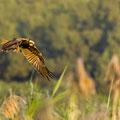 junger Nachtreiher, juv. Black-croned Night Heron, Nycticorax nycticorax, Cyprus, Limassol, Zakaki Marsh + Pool, August 2018