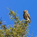 Steinkauz, Little Owl, Athene noctua, Cyprus, Paphos - Anarita Park Area, Fernsichtplatz, Mai 2018