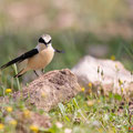 Mittelmeer-Steinschmätzer, Black-eared Wheatear male, Oenanthe hispanica, Cyprus, Androlikou Area, April 2019