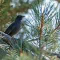 Thurdus merula, Amsel, Common Blackbird, Cyprus, Troodos Mountain, November 2016