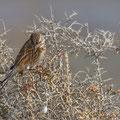 Emberiza schoeniclus - Reed Bunting - Rohrammer, Cyprus, Akrotiri Salt Lake, Nov. 2013