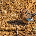 Garrulus glandarius - Eurasian Jay - Eichelhäher, Cyprus, Troodos, Dec. 2014