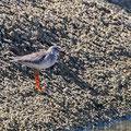Trinka totanus - Redshank Common - Rotschenkel, Cyprus, Oroklini Canal, Oktober 2012