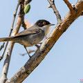 Samtkopf-Grasmücke,  Sardinian Warbler, Sylvia melanocephala, Cyprus, Pegeia-Agios Georgios, our Garden, April 2019