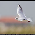 Chroicocephalus ridibundus - Black-headed Gull - Lachmoewe, Cyprus, Akrotiri, Feb. 2013