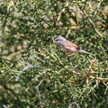 Sylvia ruepelli - Rüppell´s Warbler - Maskengrasmücke, Cyprus, Anarita, March 2016