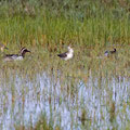 Knäkente, Garganey with Ducklings, Anas querquedula + Uferschnepfe, Black-tailed Godwit, Limosa limosa, Cyprus, Akrotiri Marsh,03. April 2018