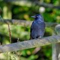 Corvus monedula - Jackdaw - Dohle, UK, Bristol, Oct. 2010