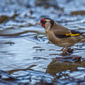 Carduelis carduelis - Goldfinch - Distelfink, Cyprus, Livadi tou Passia, March 2016