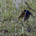 Rauchschwalbe, Barn Swallow, Hirundo rustica, Cyprus, Akrotiri Marsh, 11.April 2018