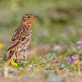 Anthus servinus - Red-throated Pipit - Rotkehlpieper, Cyprus, Mandria Beach, March 2014