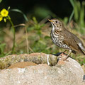 Singdrossel, Song Thrush, Turdus philomelos, Cyprus, Pegeia-Agios Georgios, April 2017