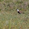 Spornkiebitz, Spur-winged Lapwing, Vanellus spinosus, Cyprus, Akrotiri Marsh, 11.April 2018