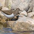 Actitis hypoleucus - Common Sandpiper - Flussuferläufer, Cyprus, Paphos - lower Ezousa, April 2015