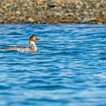 Mittelsaeger, Red-breasted Merganser, Mergus serrator, Cyprus, Akrotiri Gravel Pit, Dezember 2017