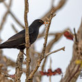 Thurdus merula - Common Blackbird - Amsel, Pegeia - Agios Georgios, October 2016