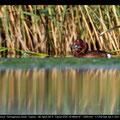 Moorente, Ferruginous Duck, Aythya ayroca, Cyprus, Akrotiri Zakaki Pool, April 2013