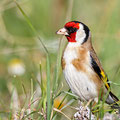 Carduelis carduelis - Goldfinch - Distelfink, Cyprus, Anarita, March 2016