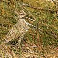 Haubenlerche, Crested Lark, Galerida cristata, Cyprus, Ineia-Pittokopos, Juli 2018