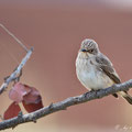 Muscicapa striata - Spotted Flycatcher - Grauschnäpper, Cyprus, Villa Levanthe, Mai 2011