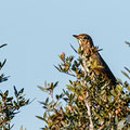 Turdus philomelos - Song Trush - Singdrossel, Pegeia - Agios Georgios, October 2016