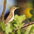 Iduna pallida - Eastern Olivaceous Warbler - Blassspötter, Cyprus, Akamas - Lara, September 2013