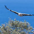 Weißstorch, White Storck, Ciconia ciconia, Cyprus, Pegeia - Agios Georgios, March 2019