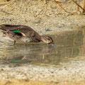 Krickente, Eurasian Teal, Anas crecca, Cyprus, Limassol, Zakaki Marsh - Pool, 18. October 2018