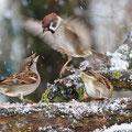 Feldsperling - Field Sparrow, Germany, Ilshofen, 20.12.2010, EOS-7D, EF500mm f/4L IS USM, 1/320 sec f/10,0, ISO 1600